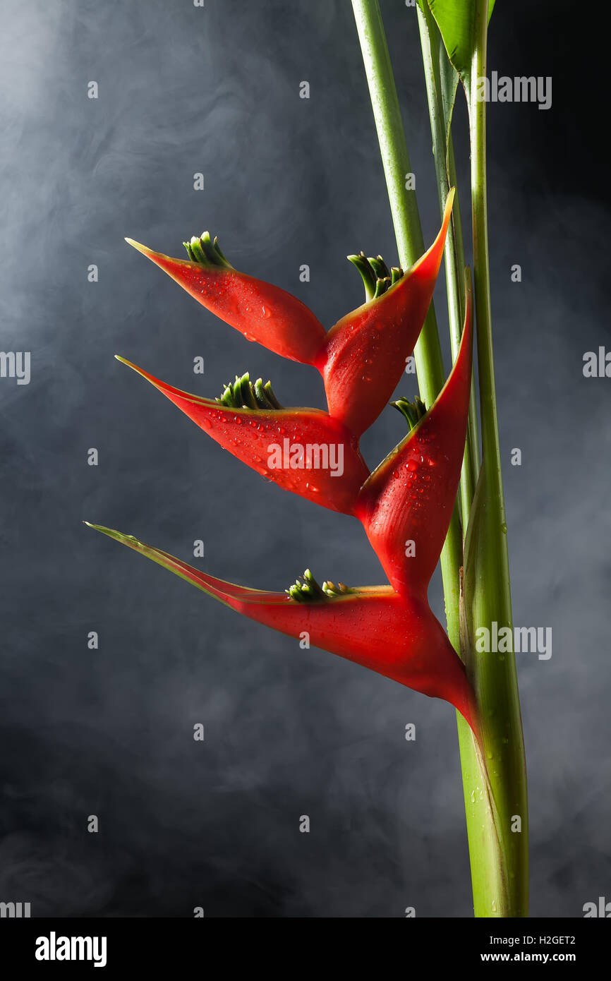 heliconia stricta still life black background beauty red flower decorate close up fog wet - Stock Image