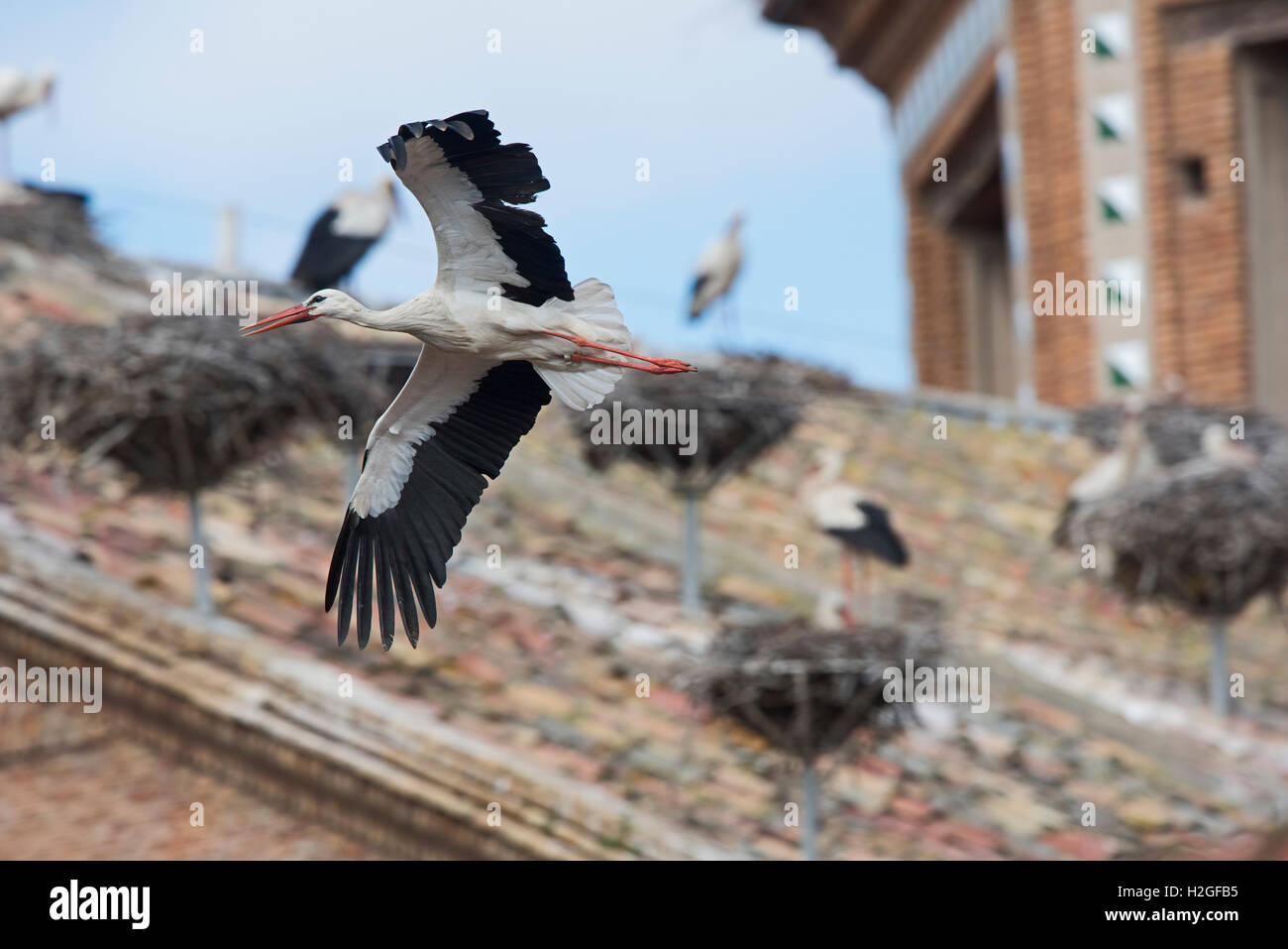 White Stork Ciconia ciconia in flight over cathedral Alfaro Spain - Stock Image