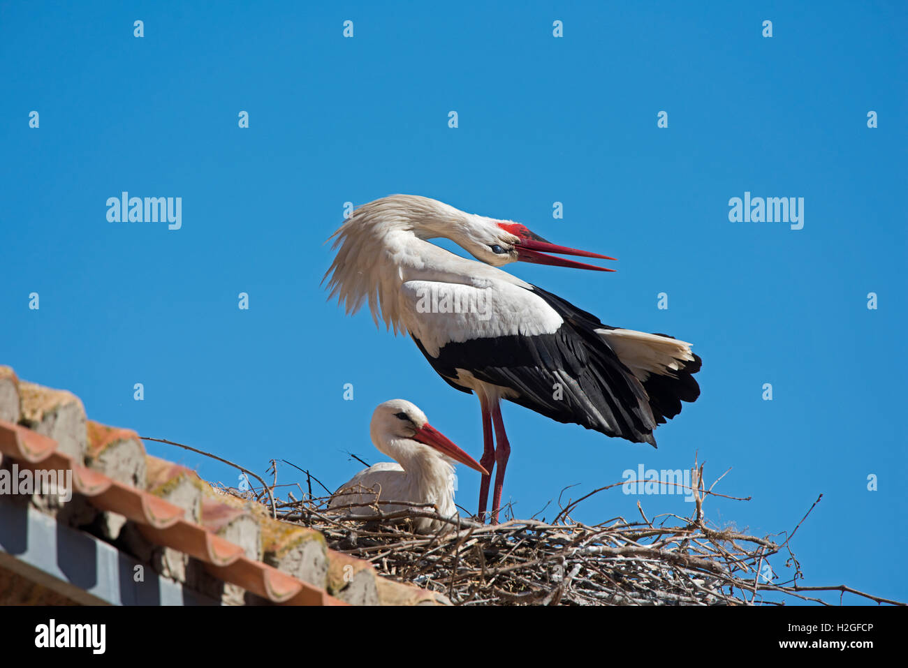 White Stork Ciconia ciconia pair displaying at nest on cathedral Alfaro Spain - Stock Image