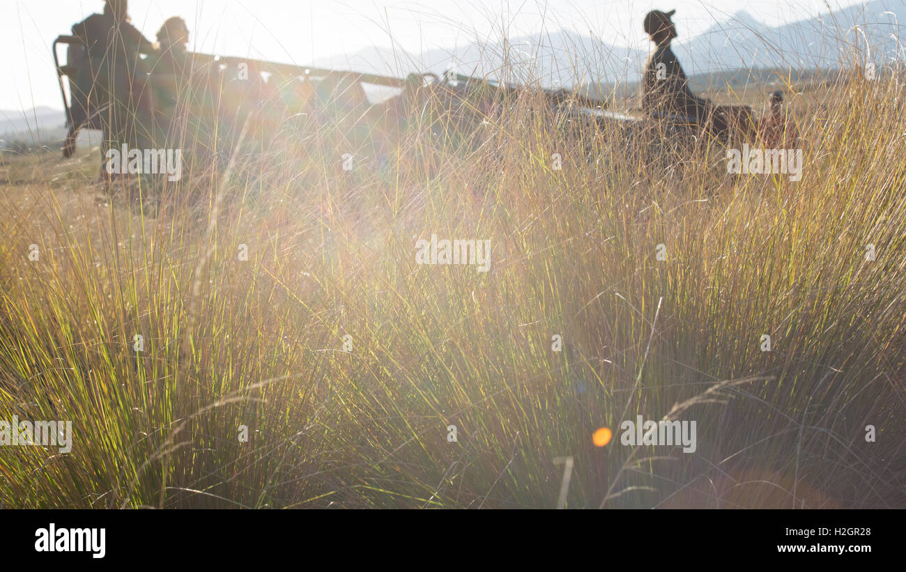 silhouetted safari car amongst tall grass with lens flare - Stock Image