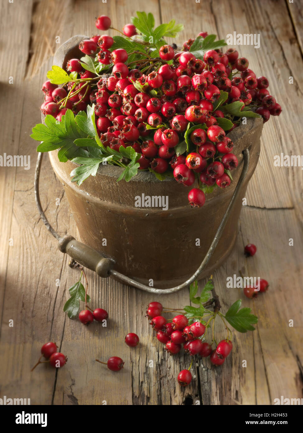 Fresh picked berries from a hawthorn, thornapple, May-tree, whitethorn, or hawberry bush (Crataegus) - Stock Image