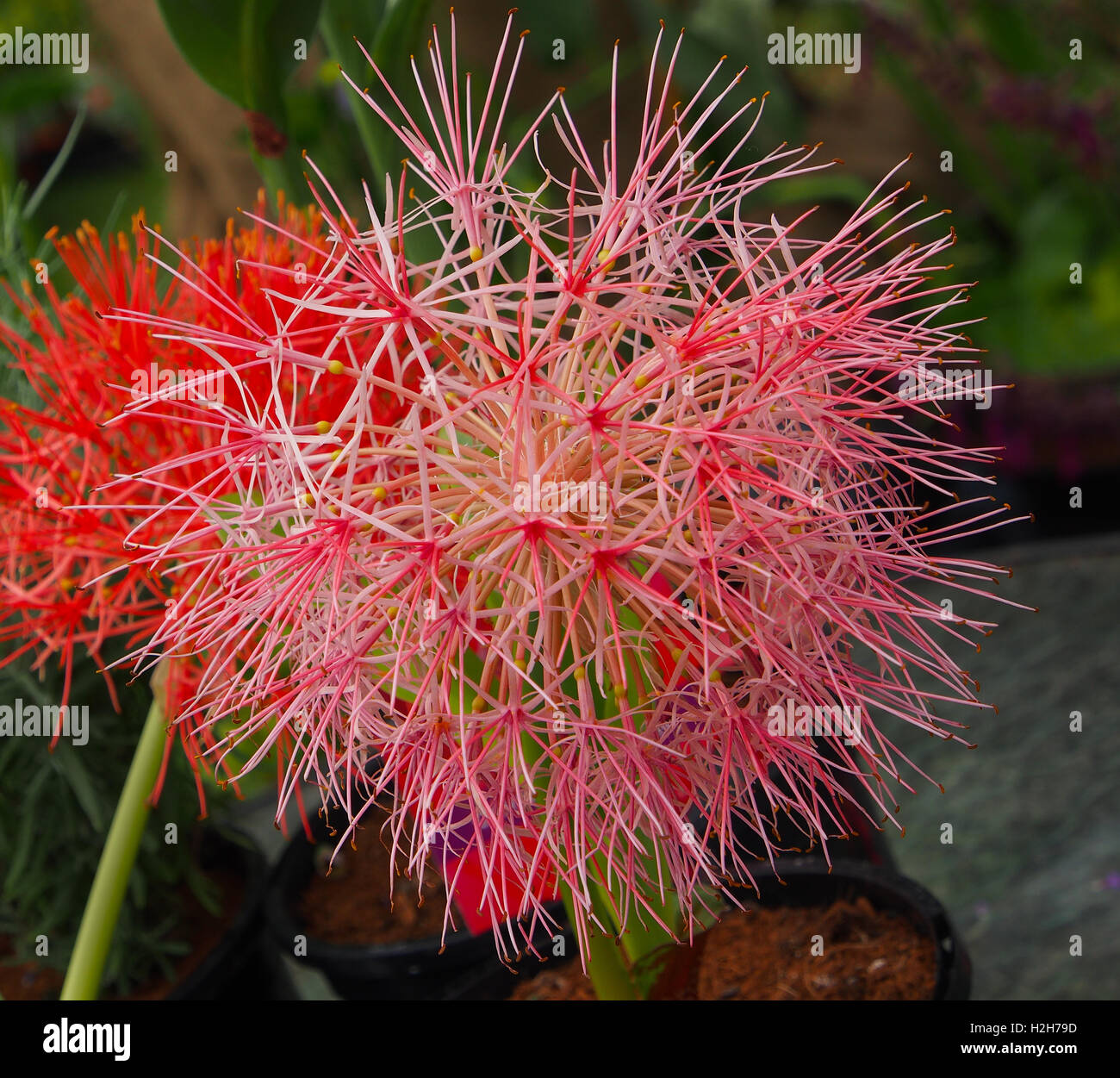Close up macro shot of the flower head of a blood lily (Haemanthus multiflorus) also known as the blood lily. - Stock Image