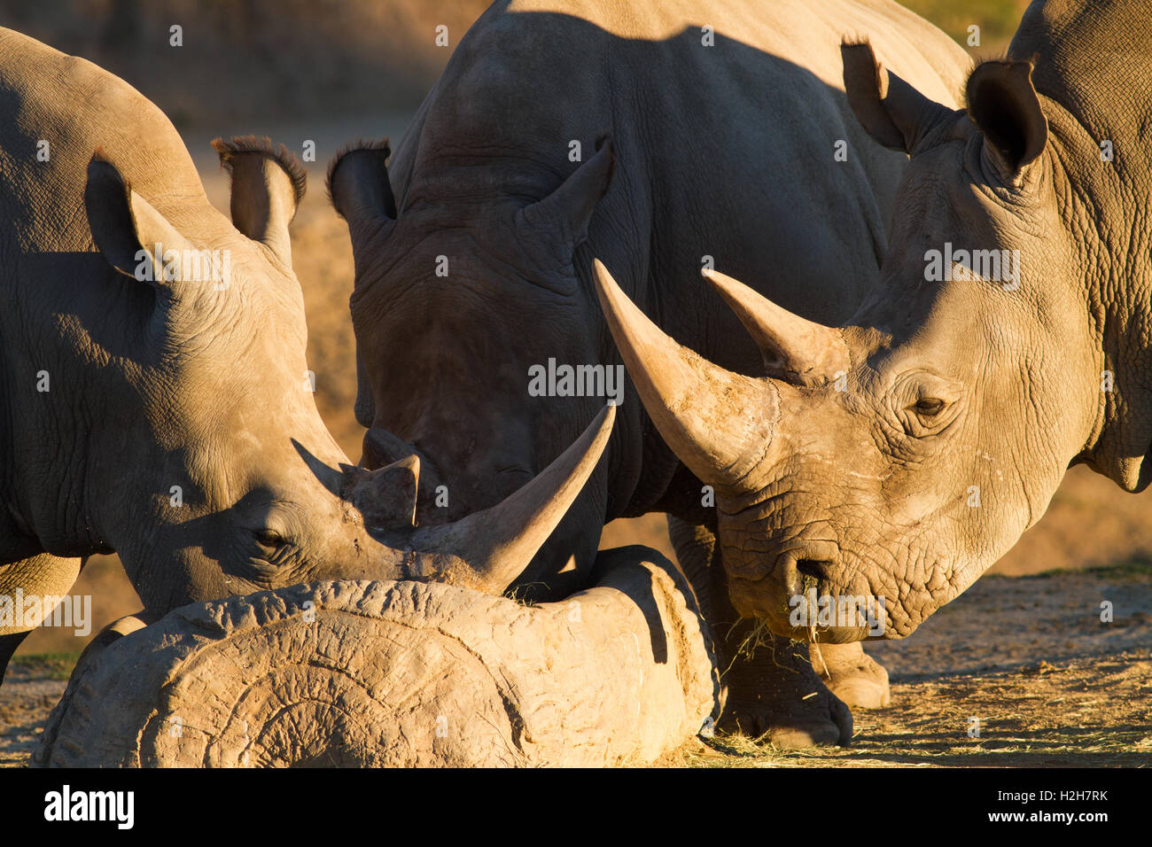 A close up of two rhino drinking water - Stock Image