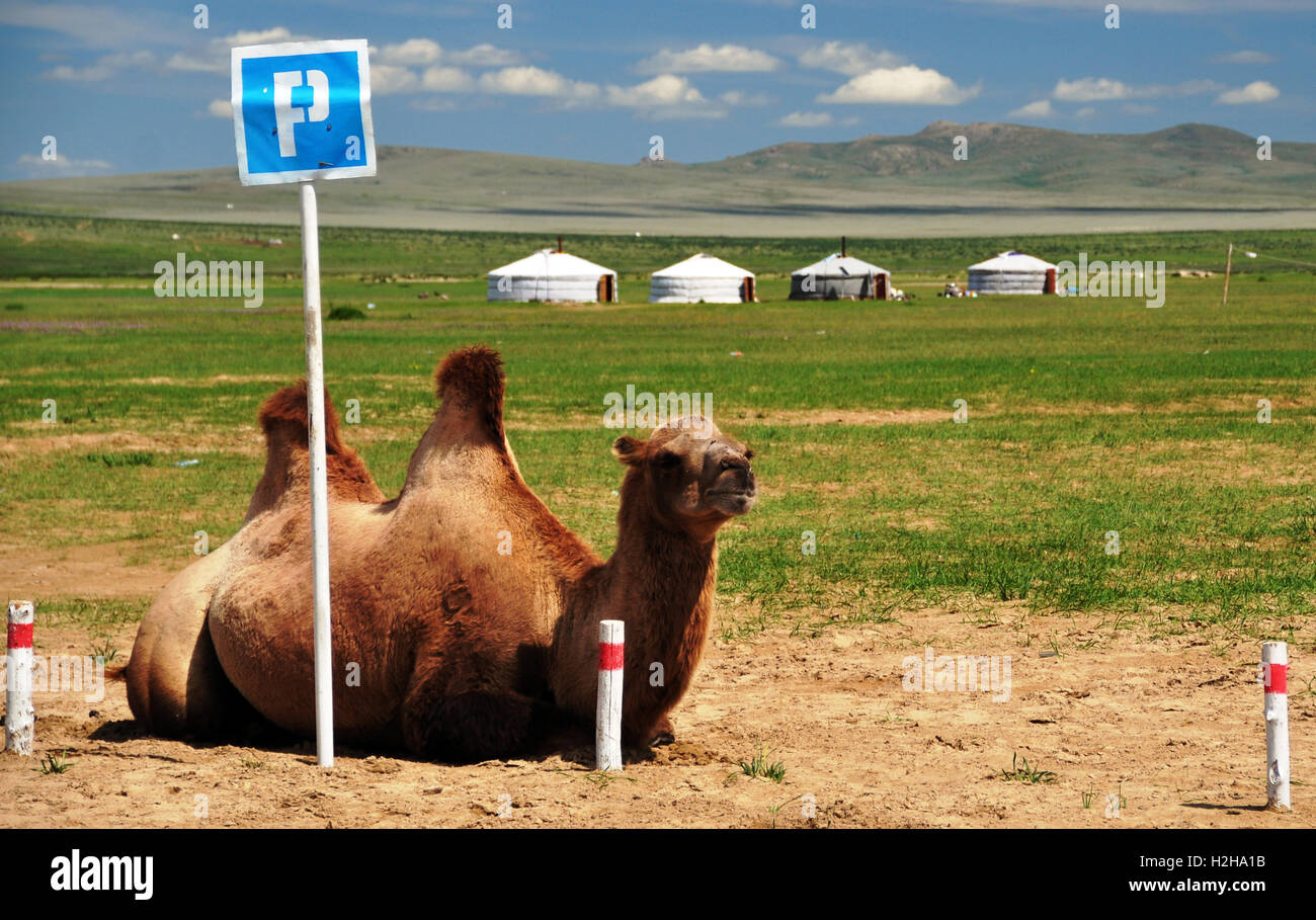 Bactrian camel at parking space, Bulgan Aimag, Mongolia - Stock Image