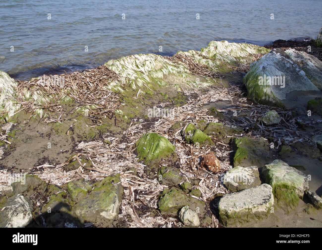 Algae covered rocks on shoreline Stock Photo
