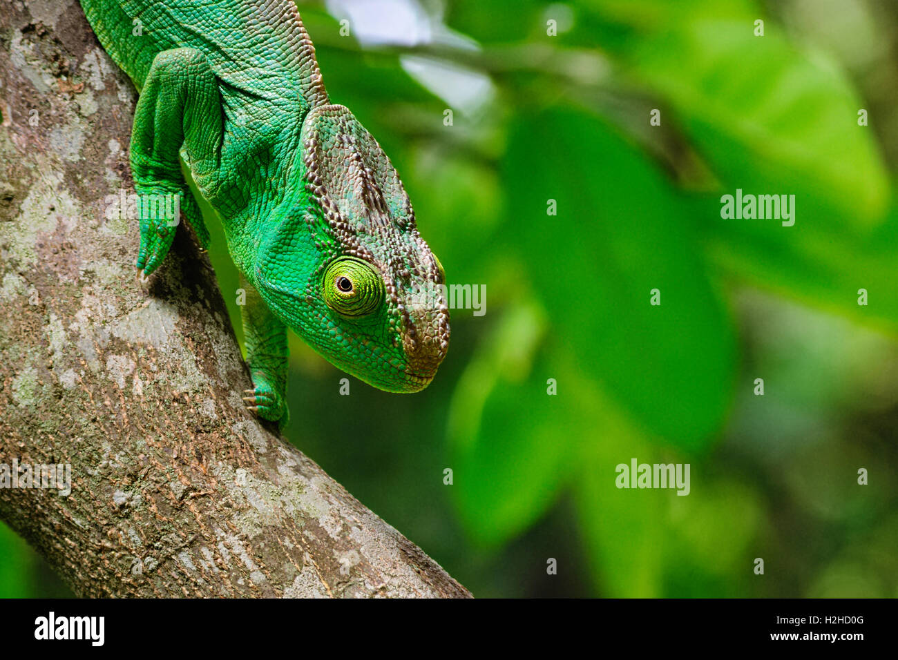 Parson's giant chameleon (Calumma parsonii): the largest chameleon of the world is endemic to Madagascar. - Stock Image