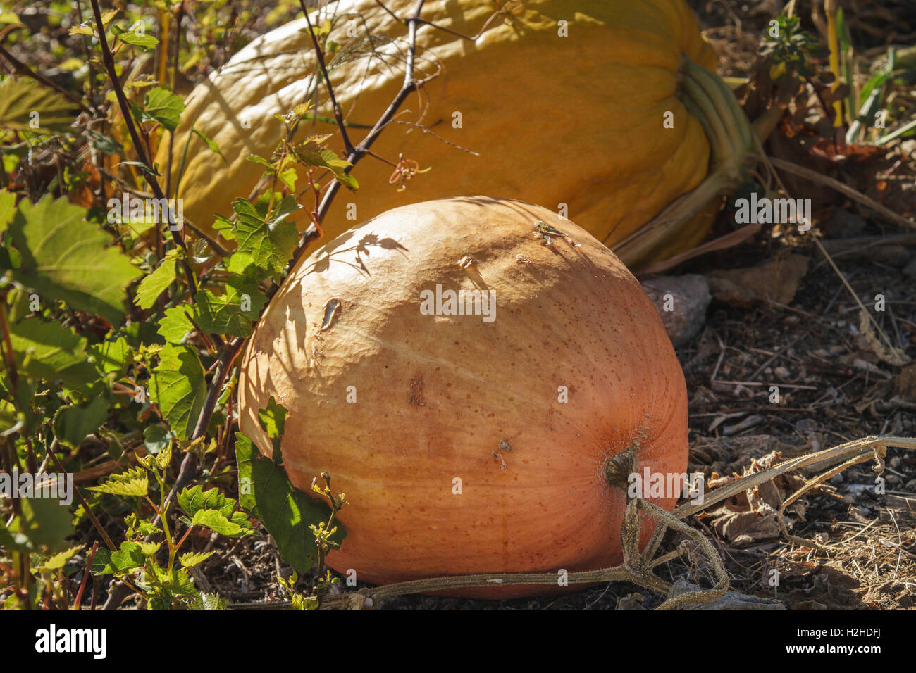 Pumpkin portraits - Large yellow and orange pumpkins growing in a Pumpkin Patch in Autumn, Portugal - Stock Image