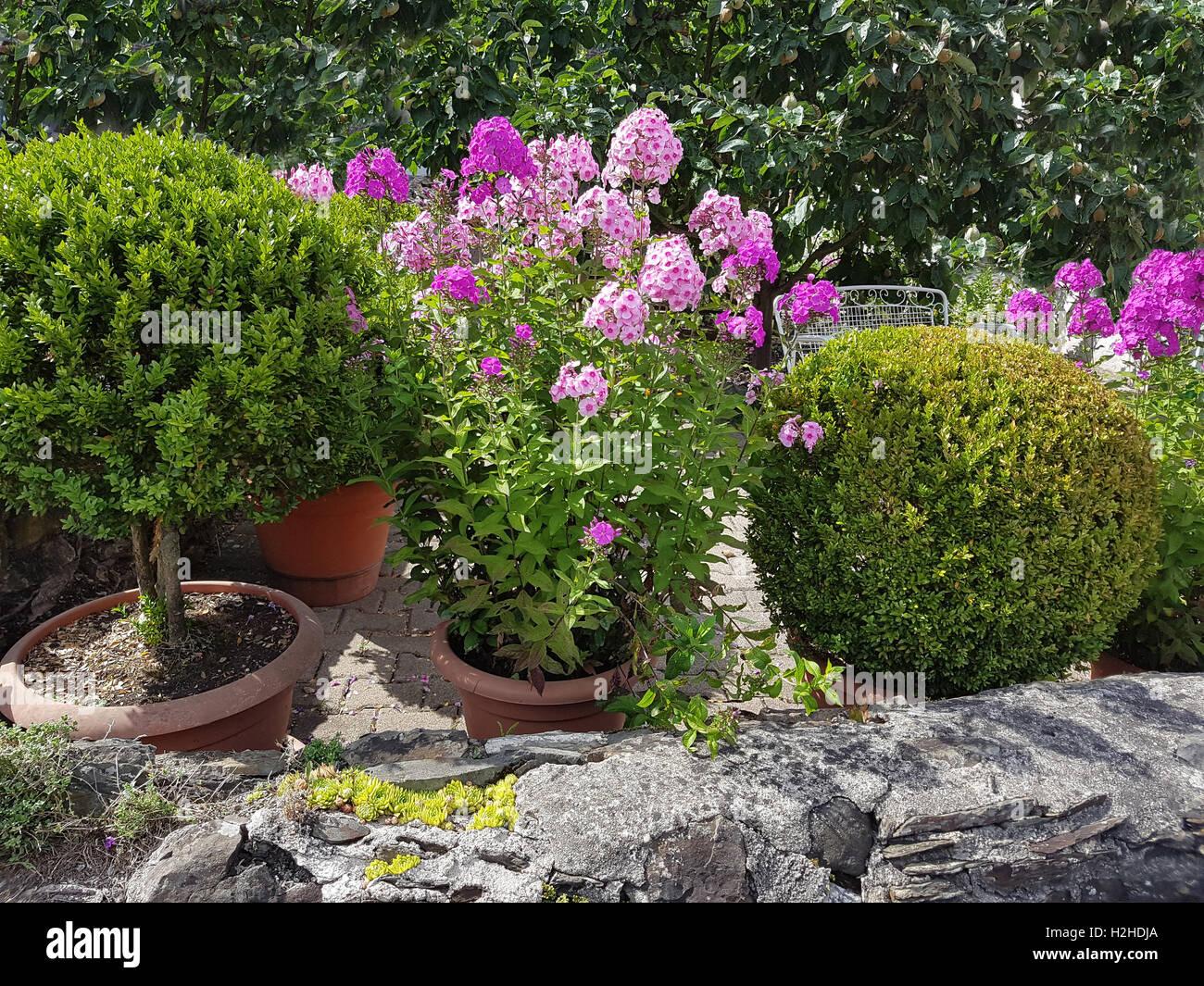 Phlox; Staudenphlox; paniculata; Blumenkuebel Stock Photo