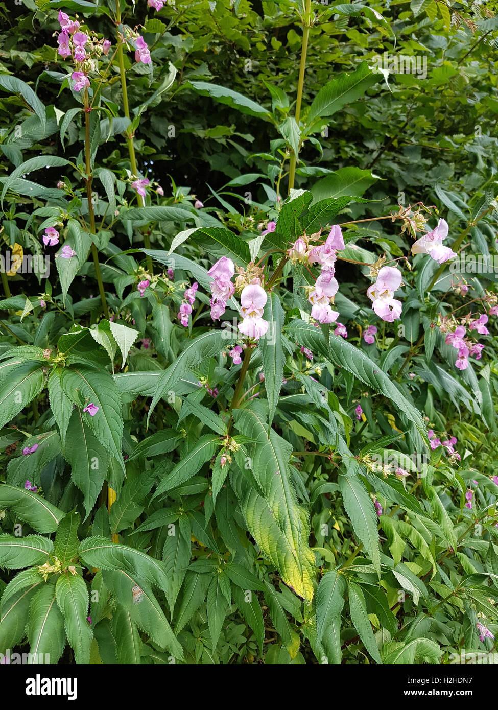 Druesiges Springkraut; Impatiens, glandulifera, heilpflanze Stock Photo