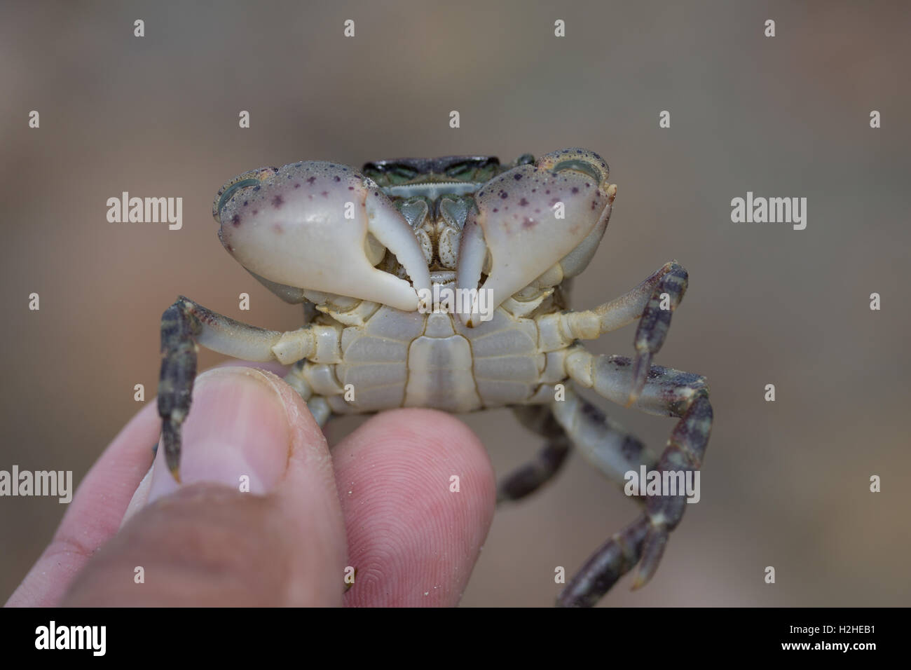 Asian Shore Crab,Hemigrapsus sanguineus,found within the inter tidal zone,east coast of Jersey,Channel islands. - Stock Image