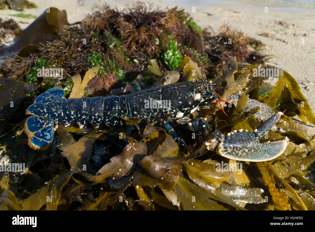 A fresh Lobster caught during low water fishing,Jersey,Channel Islands,released as undersized. - Stock Image