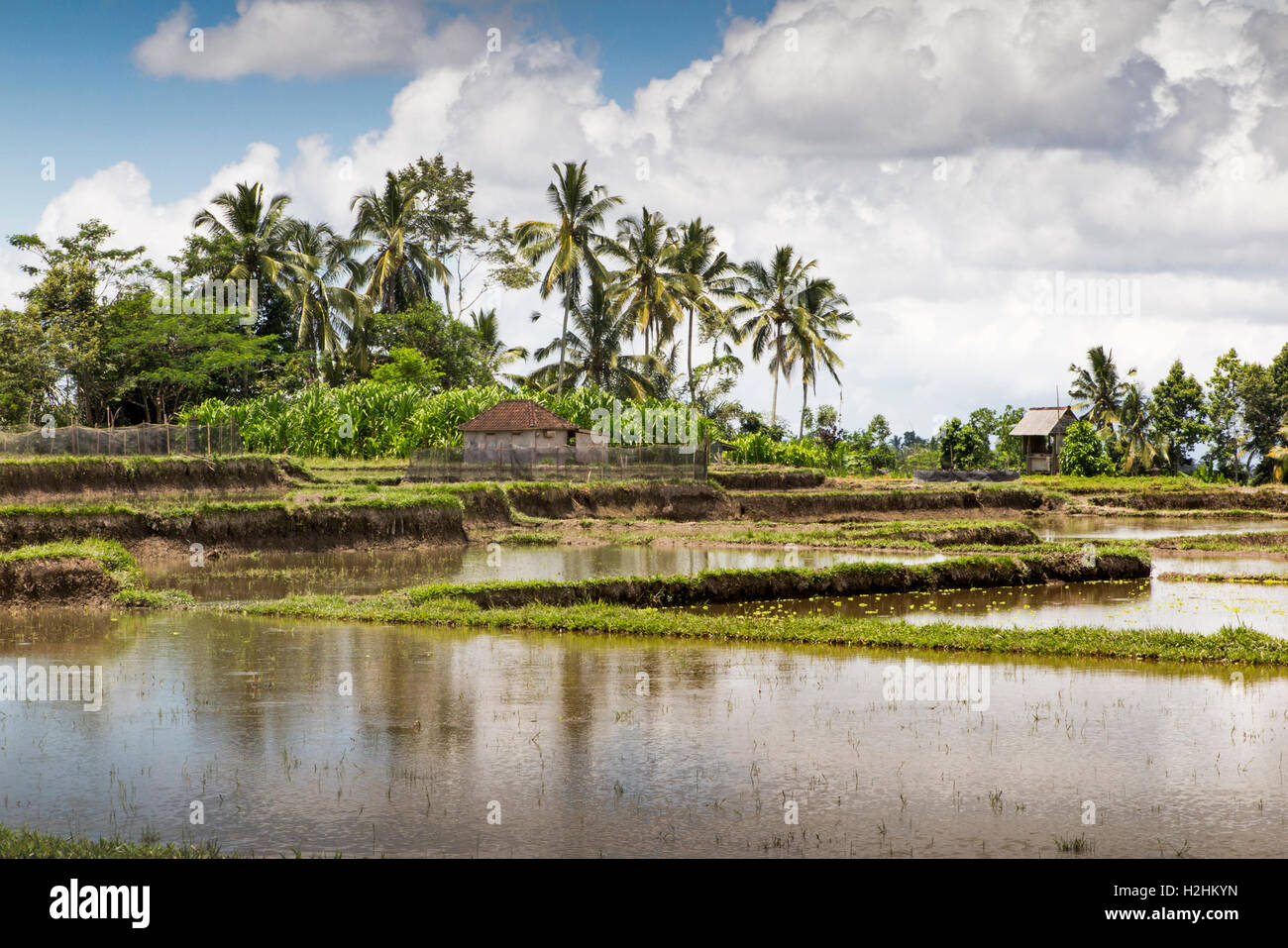 Indonesia, Central Bali, Pupuan, irrigated paddy fields flooded with water prepared to plant rice - Stock Image