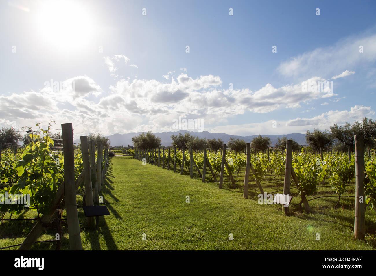 Beautiful vineyard in Mendoza, Argentina - Stock Image