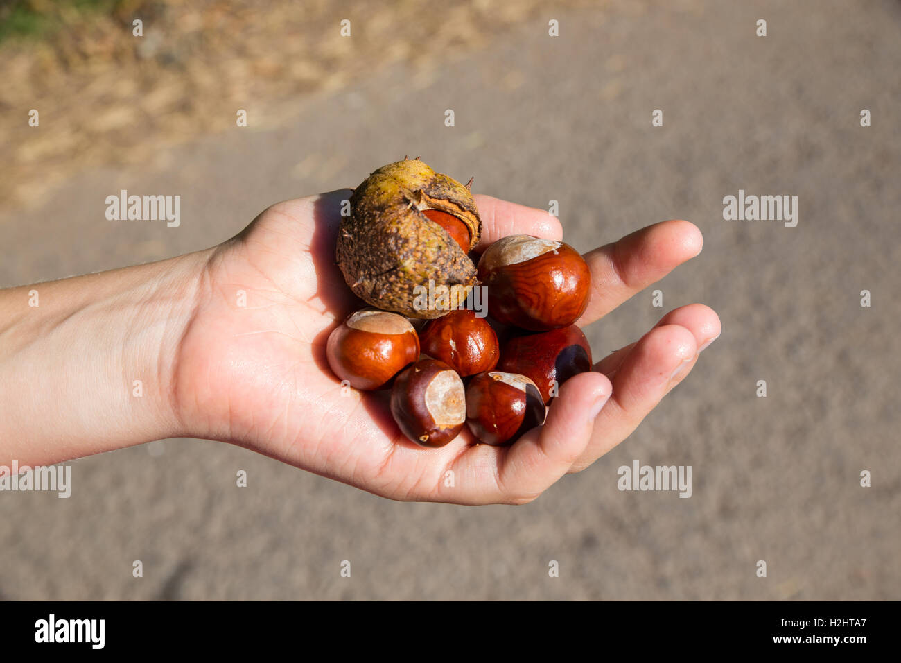 Girl's hand holding conkers. - Stock Image