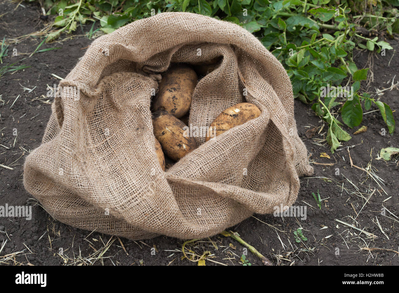 Newly harvested sack of potatoes in farm field - Stock Image