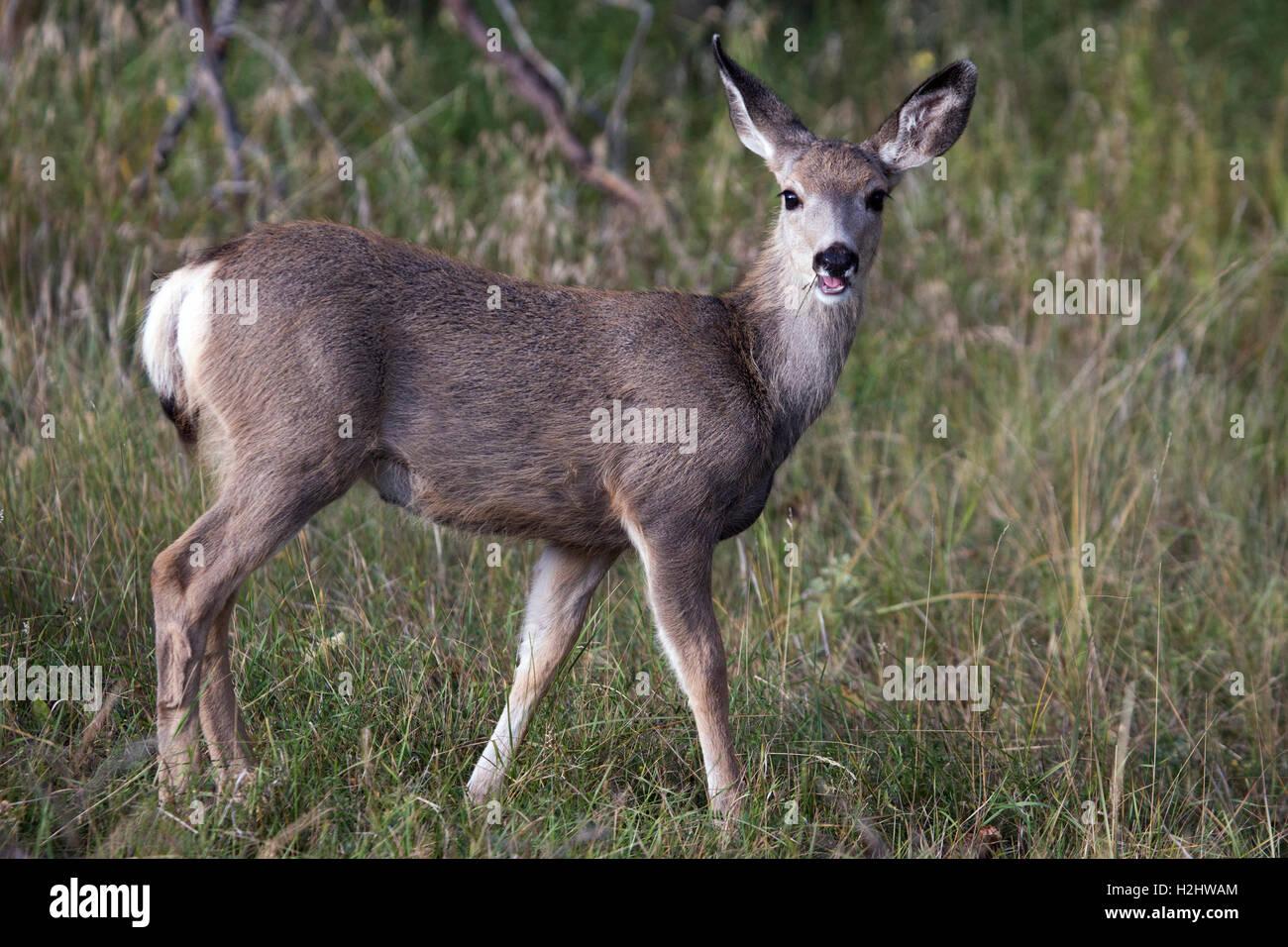 Mule deer doe (Odocoileus hemionus) in wildlife sanctuary Stock Photo