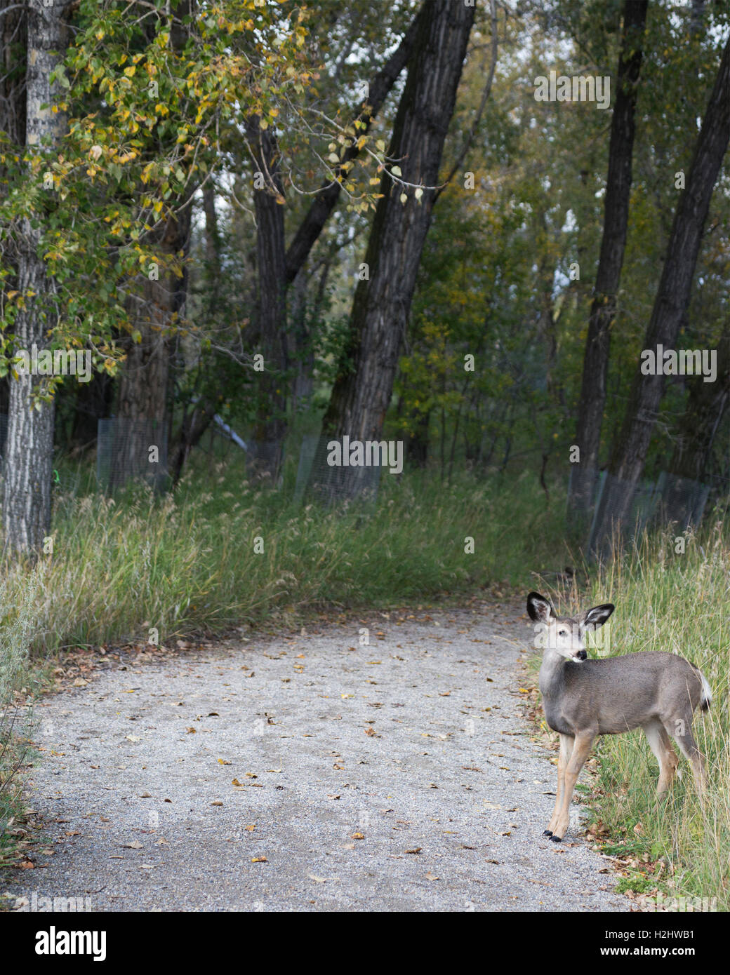 Mule deer (Odocoileus hemionus) in urban sanctuary - Stock Image