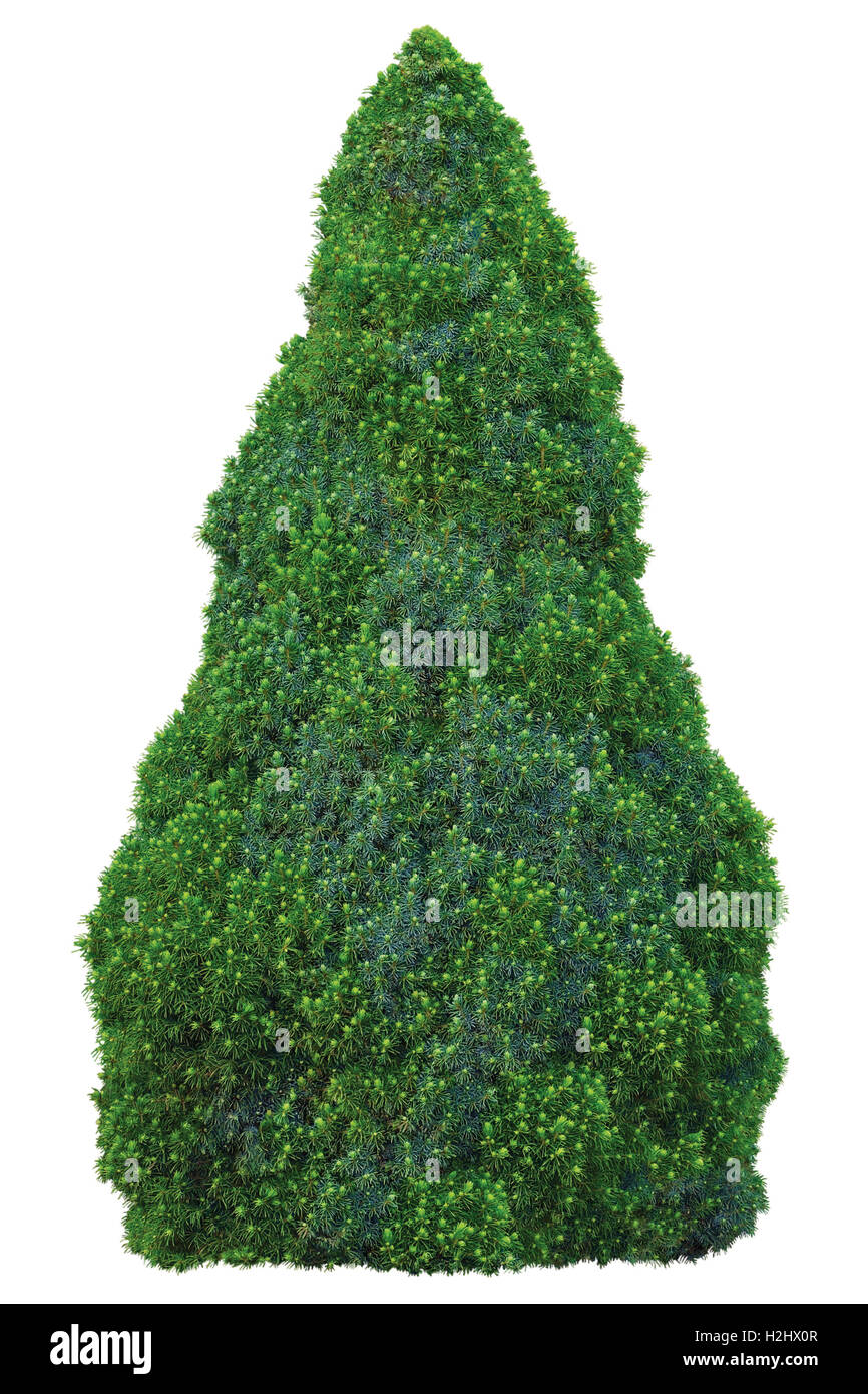 Pine family Pinaceae Picea Glauca (Moench) Voss 'Sander's Blue' 'Conica' White Spruce Tree, - Stock Image