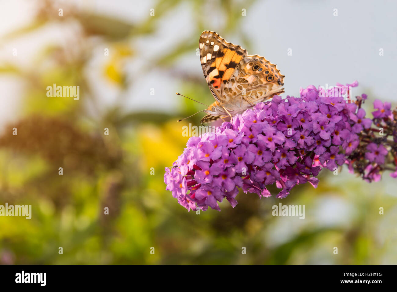 Painted Lady butterfly, Vanessa cardui, feeding on nectar from buddleia flower, lit by afternoon sun. - Stock Image