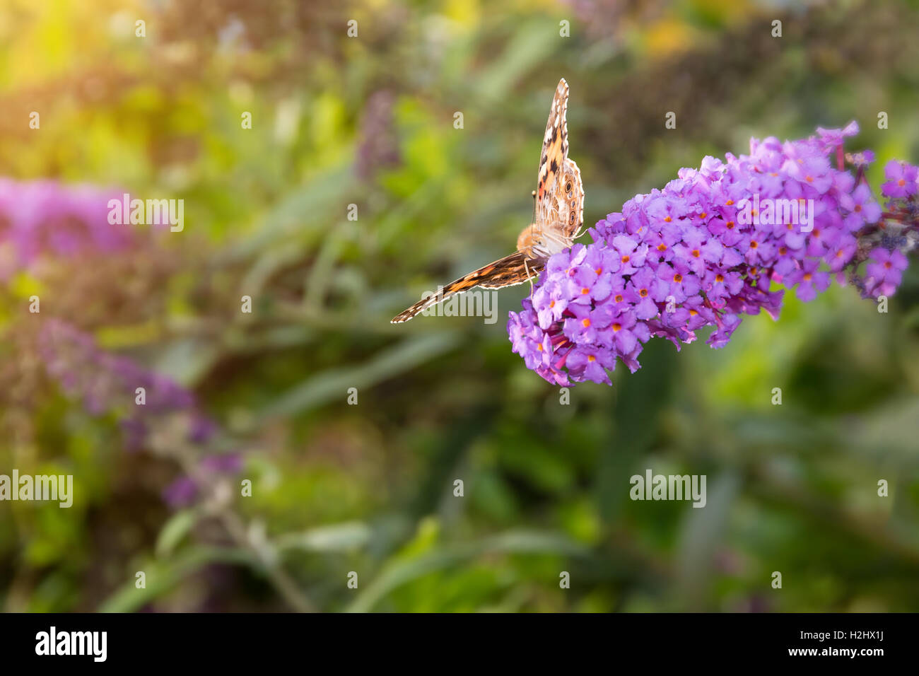 Painted Lady butterfly, Vanessa cardui, feeding on nectar from buddleia flower lit by afternoon sun. - Stock Image