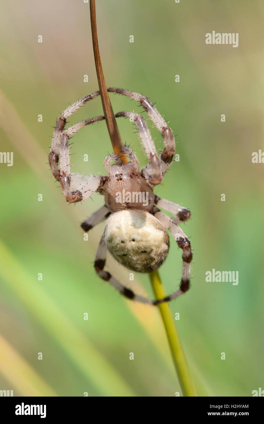 Garden Spider, Araneus diadematus,  Single adult female resting on grass stem, Lea Valley, Essex, UK - Stock Image