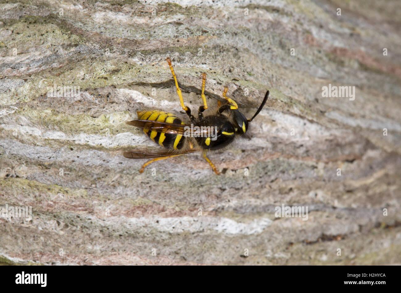 Common Wasp, Vespula vulgaris, single adult worker building nest, Worcestershire, UK. - Stock Image