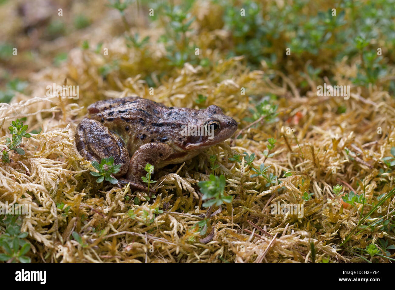 Common Frog, Rana temporaria,  Single adult resting on mossy bank. Linn of Dee, Scotland, UK. - Stock Image