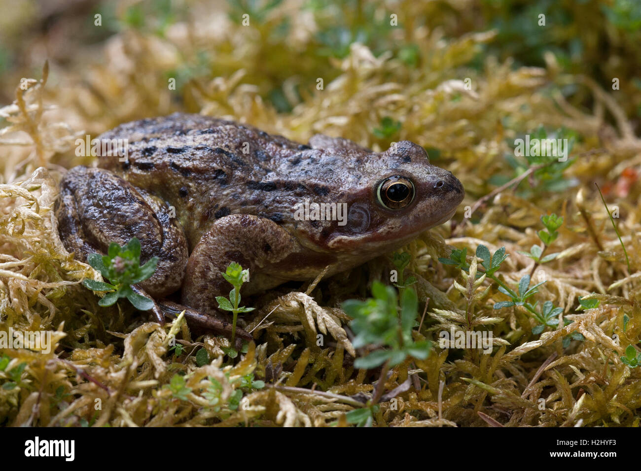 Common Frog, Rana temporaria,  Portrait of single adult resting on mossy bank. Linn of Dee, Scotland, UK. - Stock Image