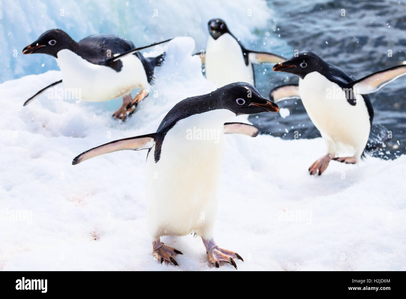 Several Adelie penguins, returning from the water, pop out on to the snow, Antarctica - Stock Image