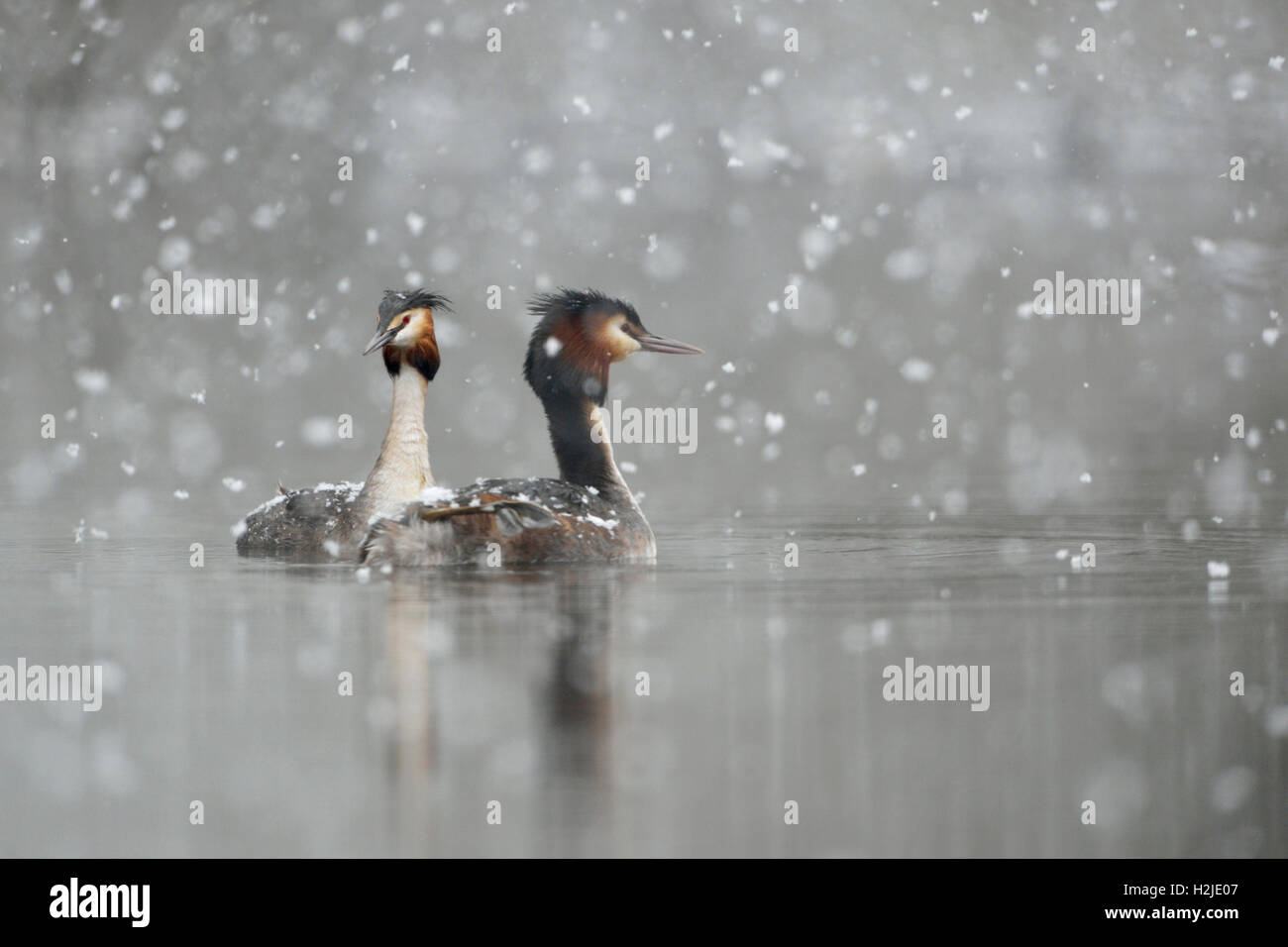 Great Crested Grebes ( Podiceps cristatus ), swimming pair, courting, falling snow, late onset of winter, snowfall, - Stock Image