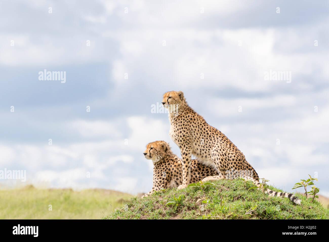Cheetah (Acinonix jubatus) sitting on hill looking over savanna, Maasai Mara National Reserve, Kenya - Stock Image