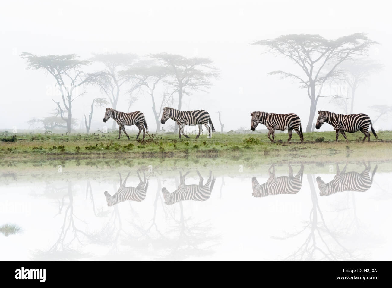 Common or plains zebra (Equus quagga) walking on savanna with fog and reflection, Maasai Mara National Reserve, - Stock Photo