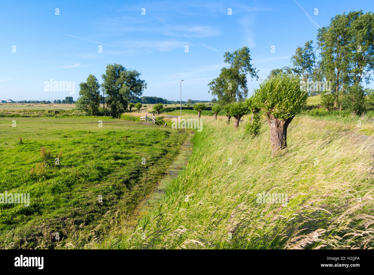 Dutch countryside polder landscape with field, ditch and pollard willows in Spaarndam near Haarlem, Netherlands - Stock Image