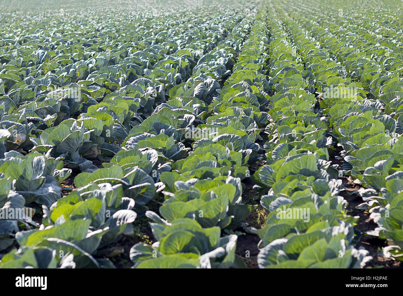 Freshly growing cabbage field - Stock Image