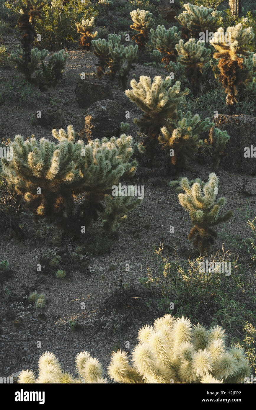 Cactus shrubs in Saguaro National Park near Tuscon, Arizona - Stock Image