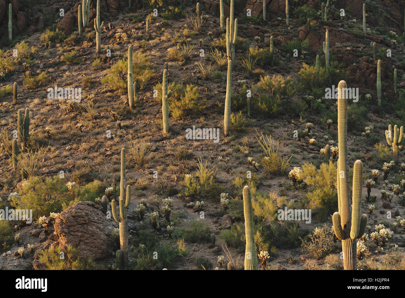 Saguaro cacti in Saguaro National Park, located near Tuscon, Arizona. - Stock Image