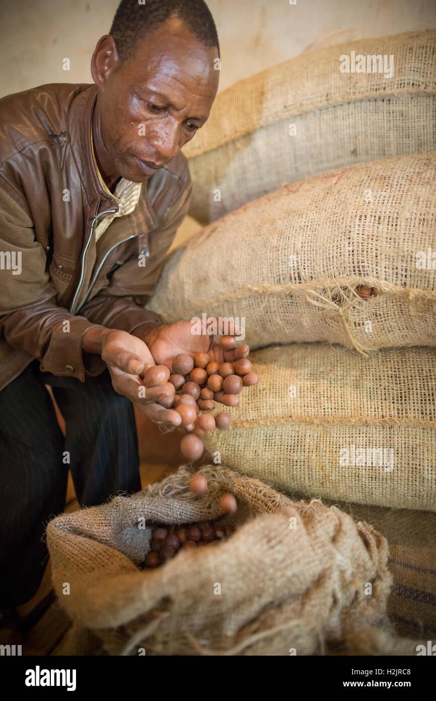 A fair trade nut producer examines freshly-harvested macadamia nuts in a store room in Kirinyaga County, Kenya. - Stock Image