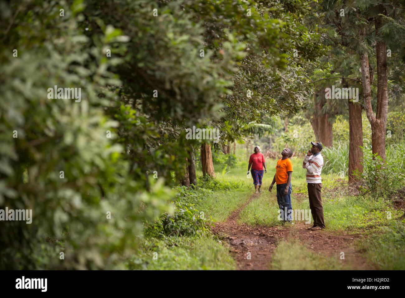 Fair trade producers survey a grove of Macadamia nut trees in Kirinyaga County, Kenya. - Stock Image