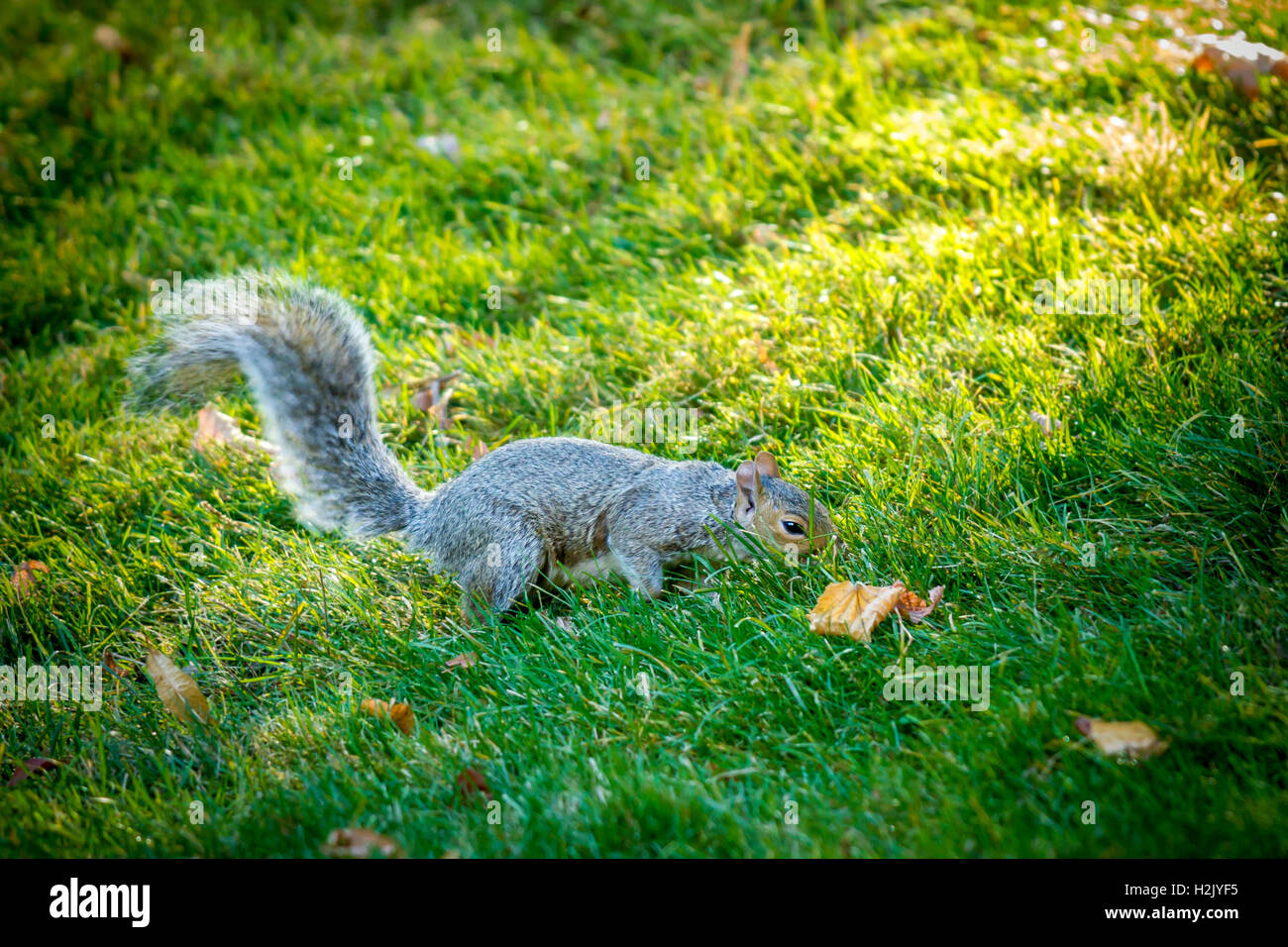 Squirrel searches for food. Stock Photo