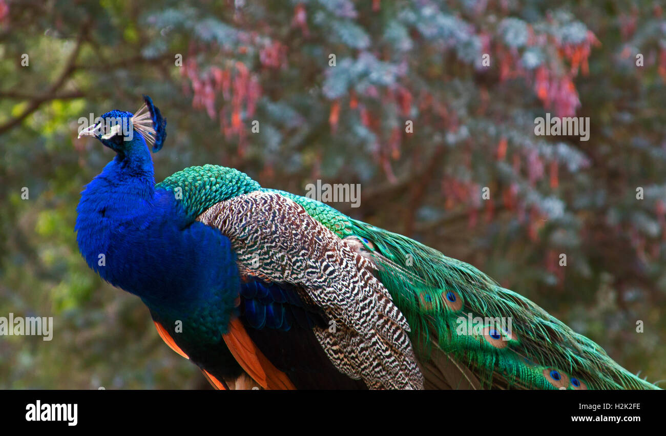 Blue Green Iridescent Peacock in the Mountains near Adelaide Australia Stock Photo