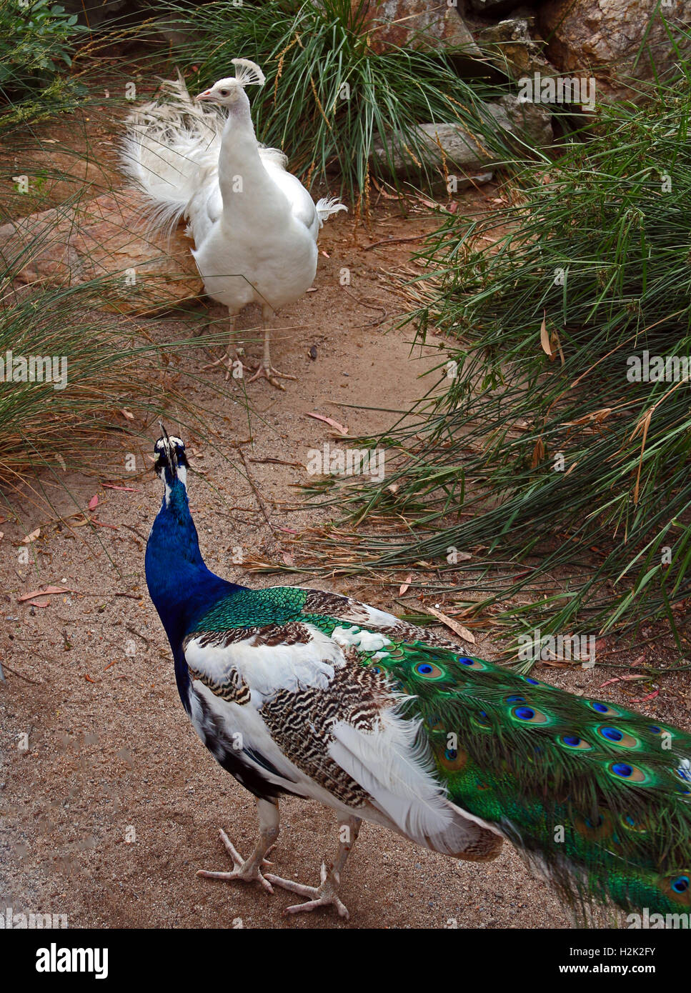 Blue Green and White Peacock and Albino Peacock facing off against each other in mountains near Adelaide Australia Stock Photo