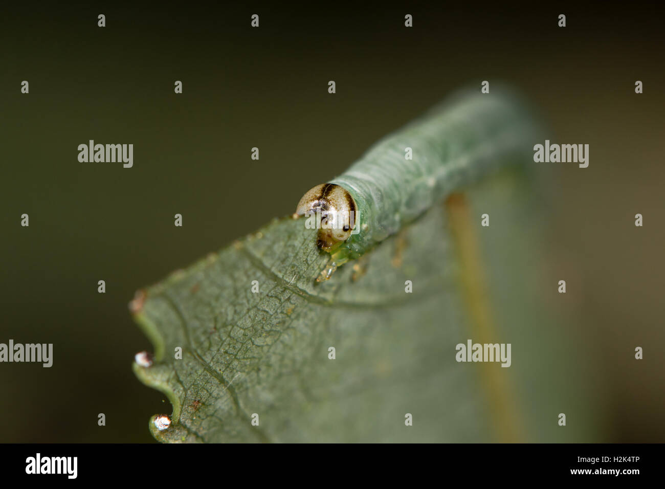 Sawfly larva feeding on willow (Salix sp.) head on. Caterpillar of Hymenopteran insect, suborder Symphyta family - Stock Image
