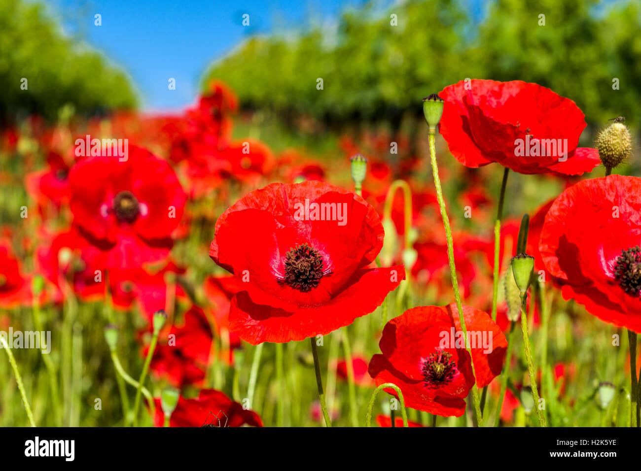 Close up of poppies, blossom, Ascianello, Tuscany, Italy - Stock Image