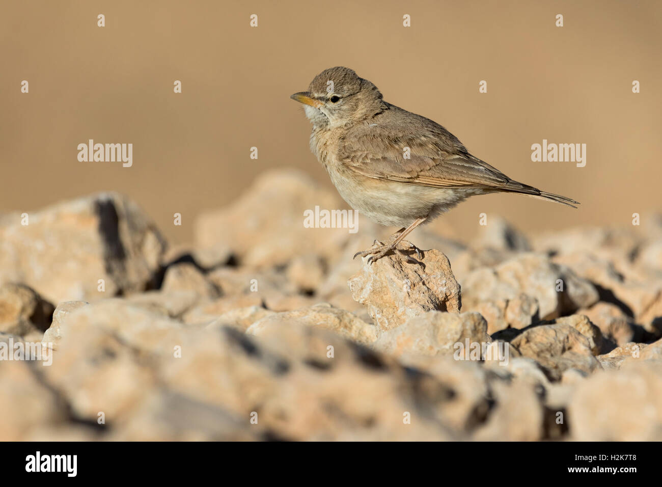 SIngle Desert Lark Ammomanes deserti perched on rocks in Eilat, Israel - Stock Image