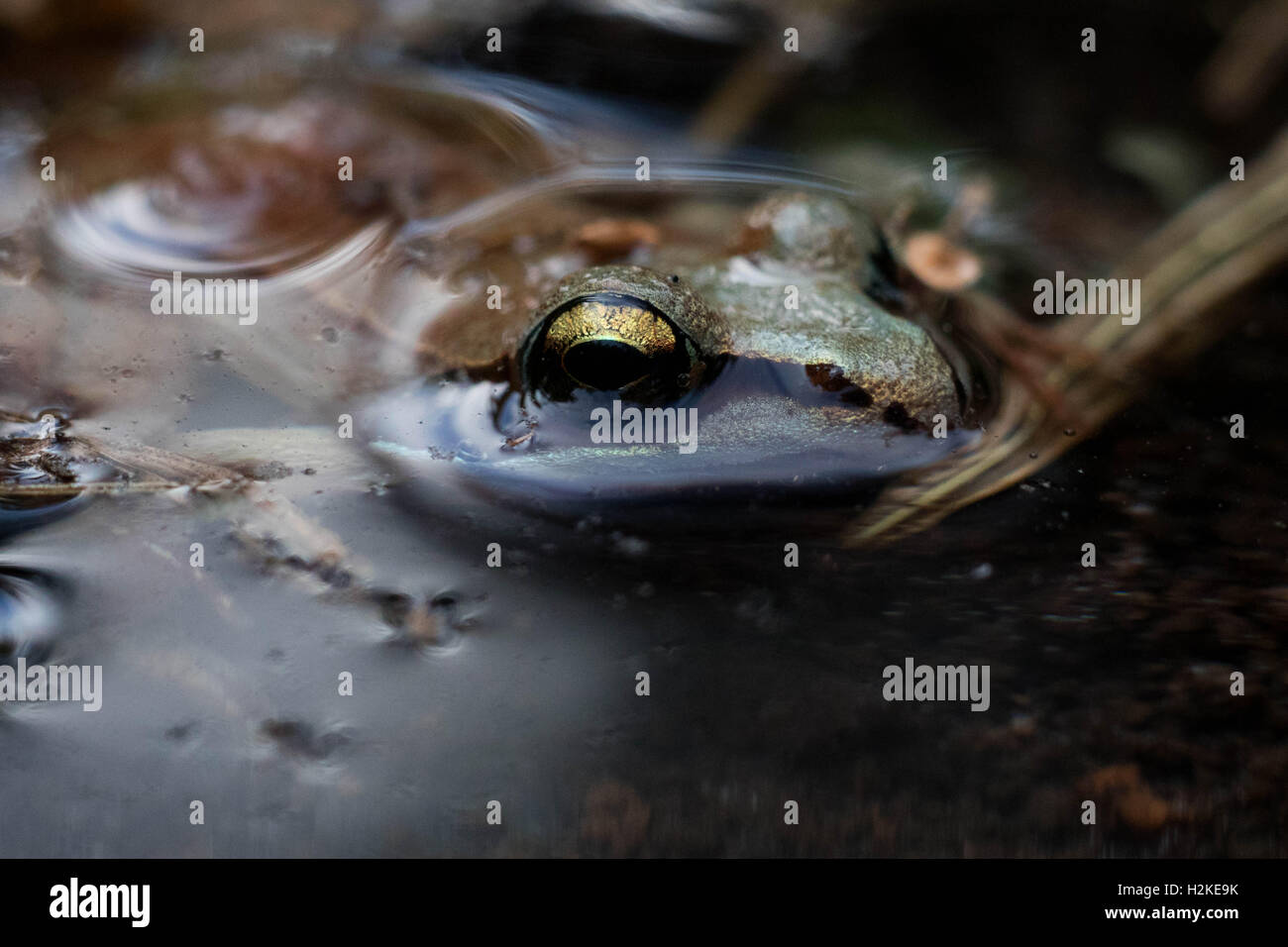 Wood Frog in Water - Stock Image