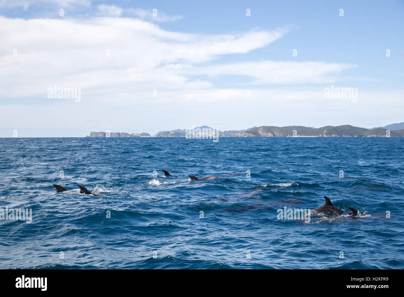 Bay of Islands dolphins Stock Photo