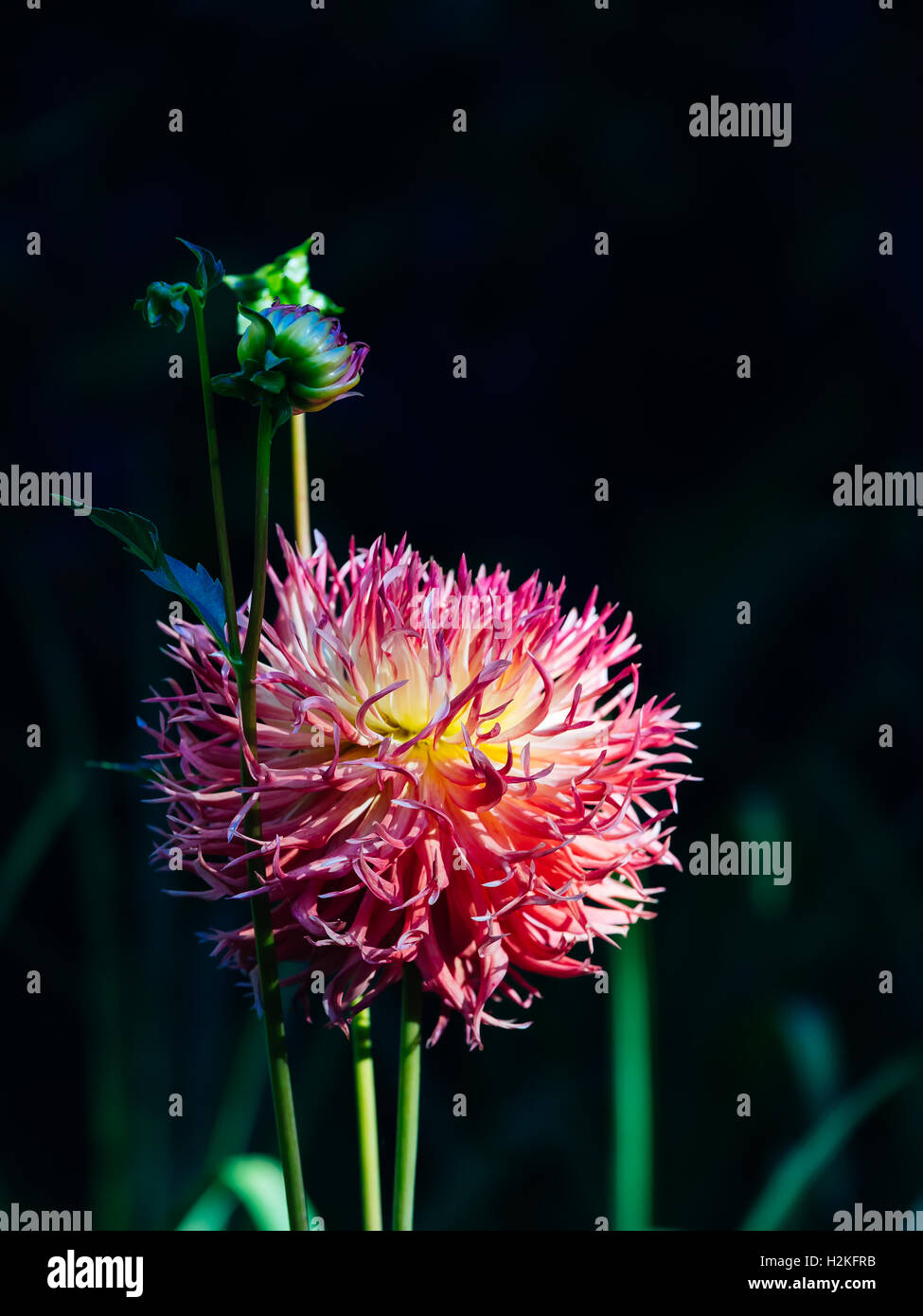 Flower and bud of a red dahlia on darkly green background Stock Photo