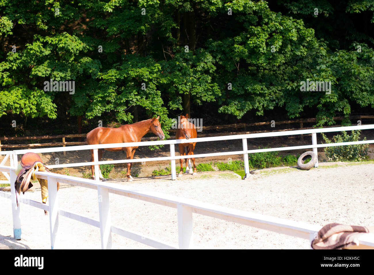 Pair of young brown horses behind white fence corral in summer sunny day - Stock Image