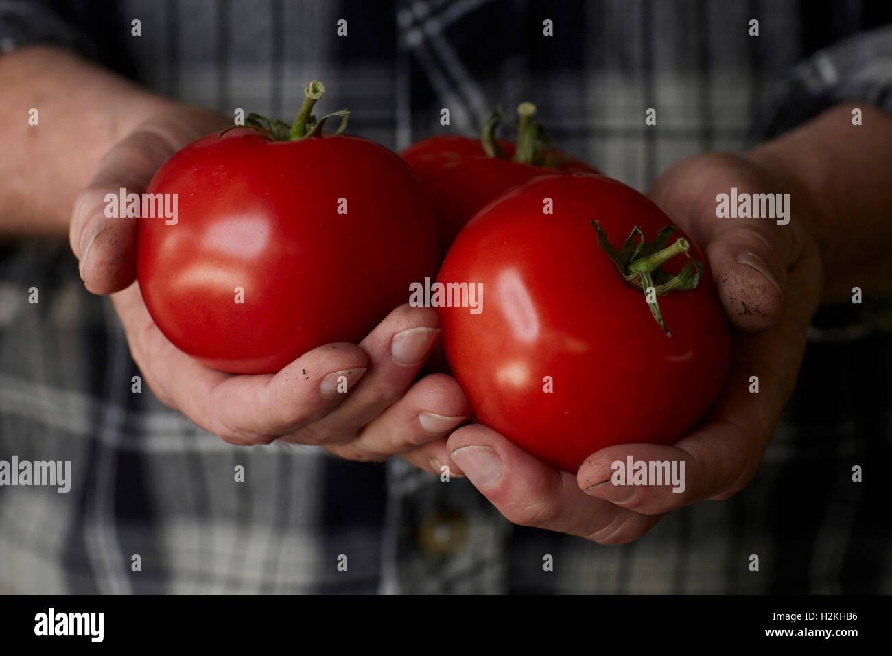 close up photograph of mans hands holding freshly picked, vine ripe red tomatoes, with dirt on his hands, wearing - Stock Image