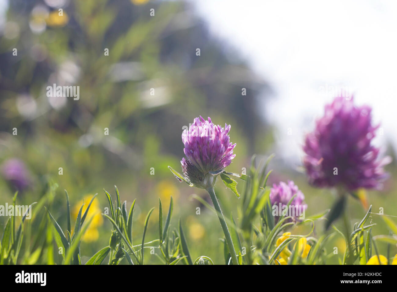 Summer Field With Yellow And Pink Flowers Clover Wild Meadow Pink